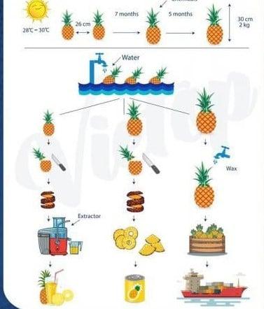 IELTS Essay: Pineapple Process